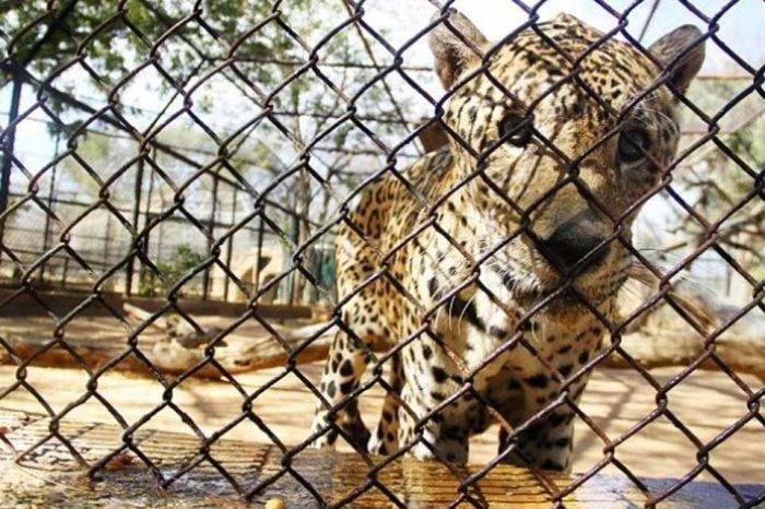 Zoológico Zulia cunaguaro