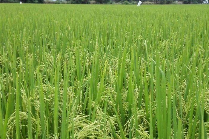 Producción de arroz solo cubrió 28,9% de la demanda en 2017