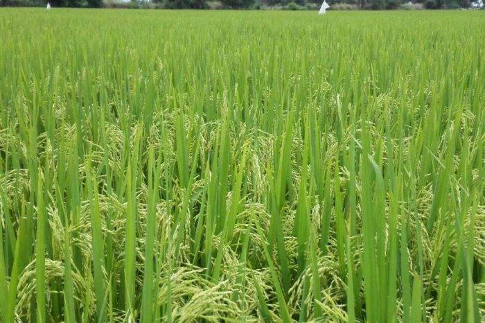 arroz, gasoil