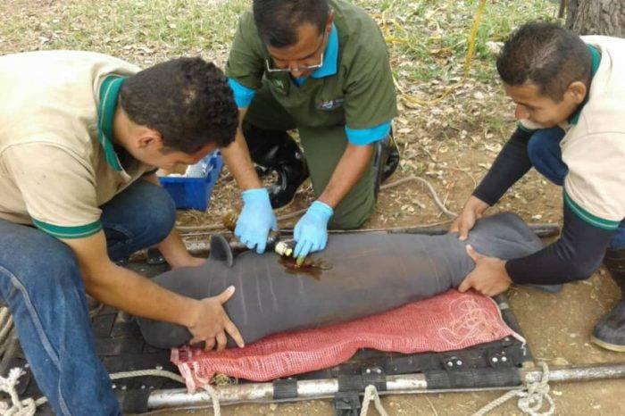 Nace en Venezuela quinta cría de manatí macho, especie en peligro de extinción