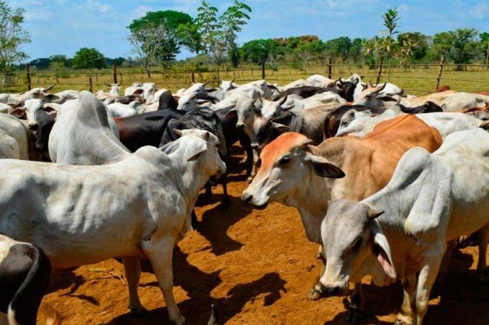 Ganaderos siguen sin tener claro especificaciones del precio de la carne