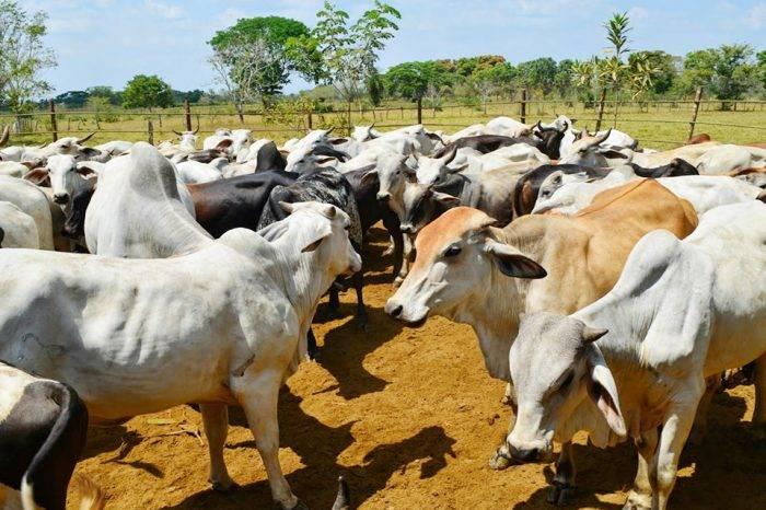 Presos en Colombia 12 personas por contrabando de ganado venezolano