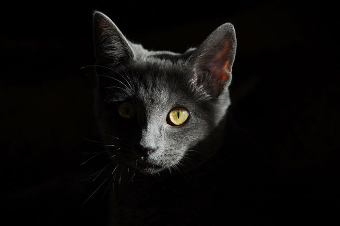 Los gatos pueden contraer el coronavirus, revela estudio