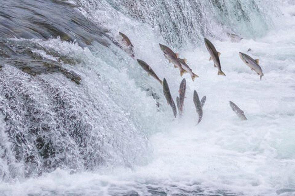 La carrera del salmón
