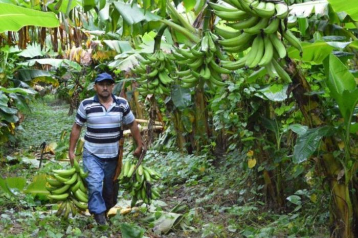 cultivo-de-plátano-zulia